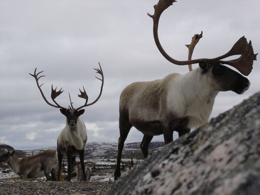 Caribou herd five