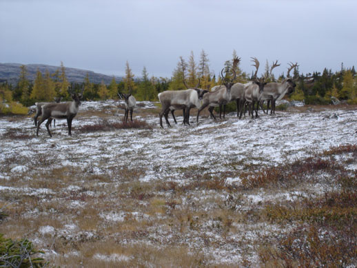 Caribou herd four
