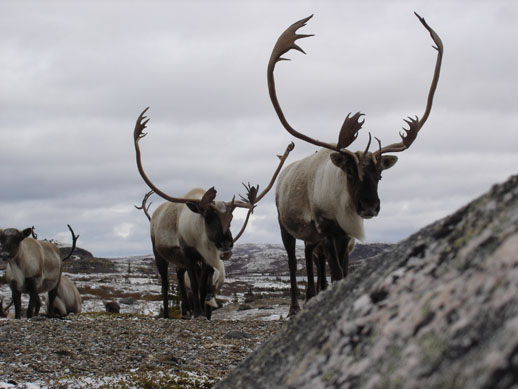 Caribou herd six