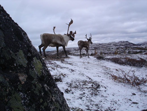 Caribou herd two